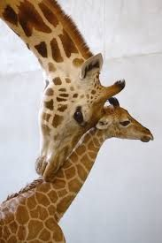 Resultado de imagem para filhote girafa