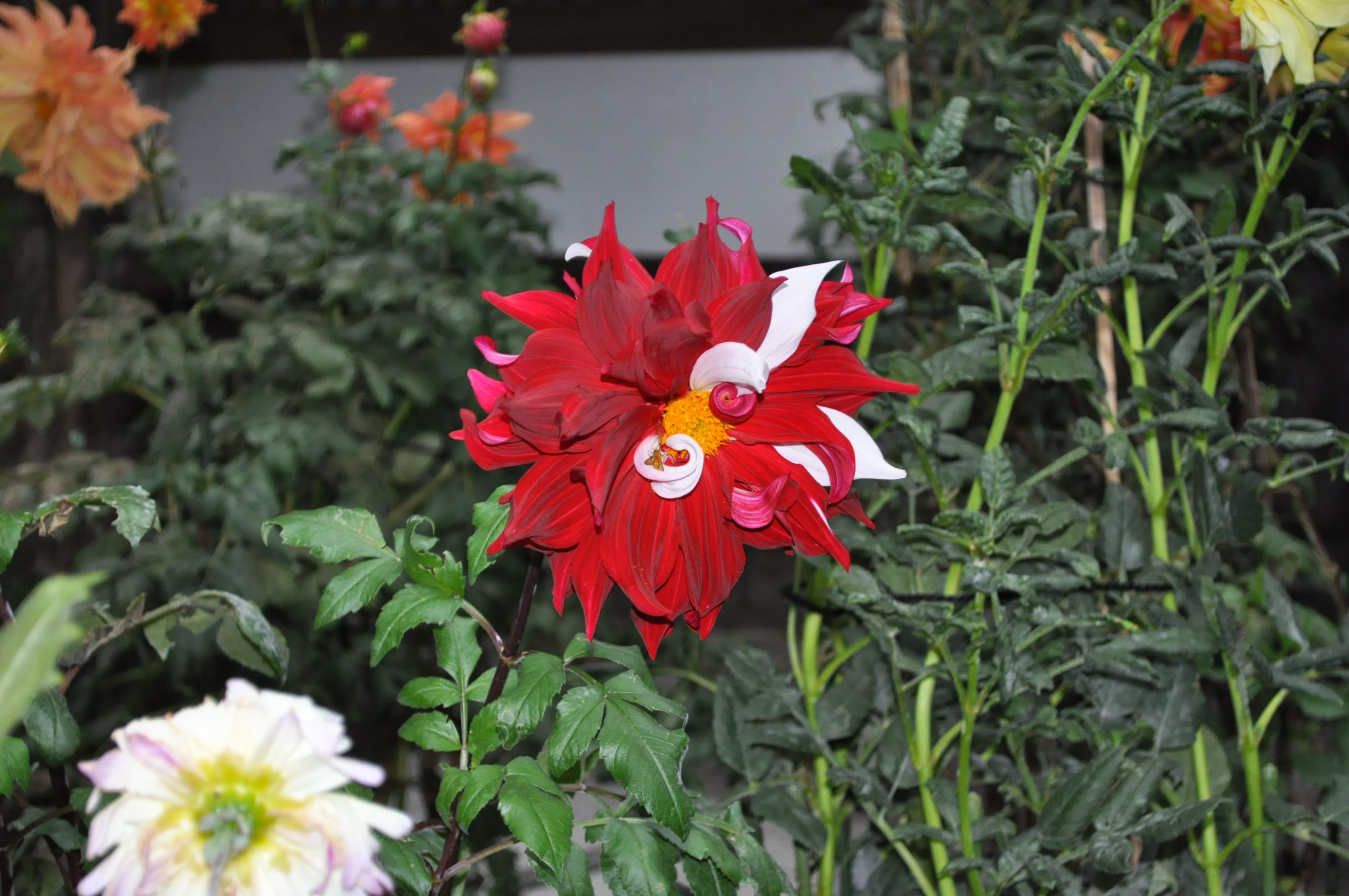 @flowerlink #gardening #roses #wholesale #japan