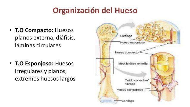El tejido óseo Compacto maduro se compone de Osteonas,el tejido ...