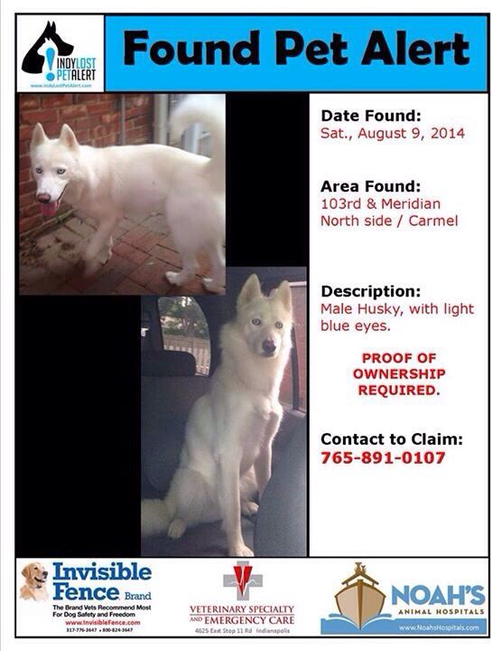 Founddog 8 9 14 Indianapolis In Siberianhusky Male Light Blue Eyes 103rd Meridian Carmel 765 891 0107 Https Losing A Dog Light Blue Eyes Blue Husky
