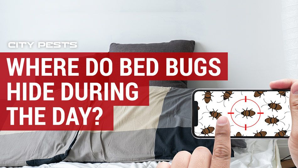 Where Do Bed Bugs Hide During The Day Bed Bugs Bed Bugs