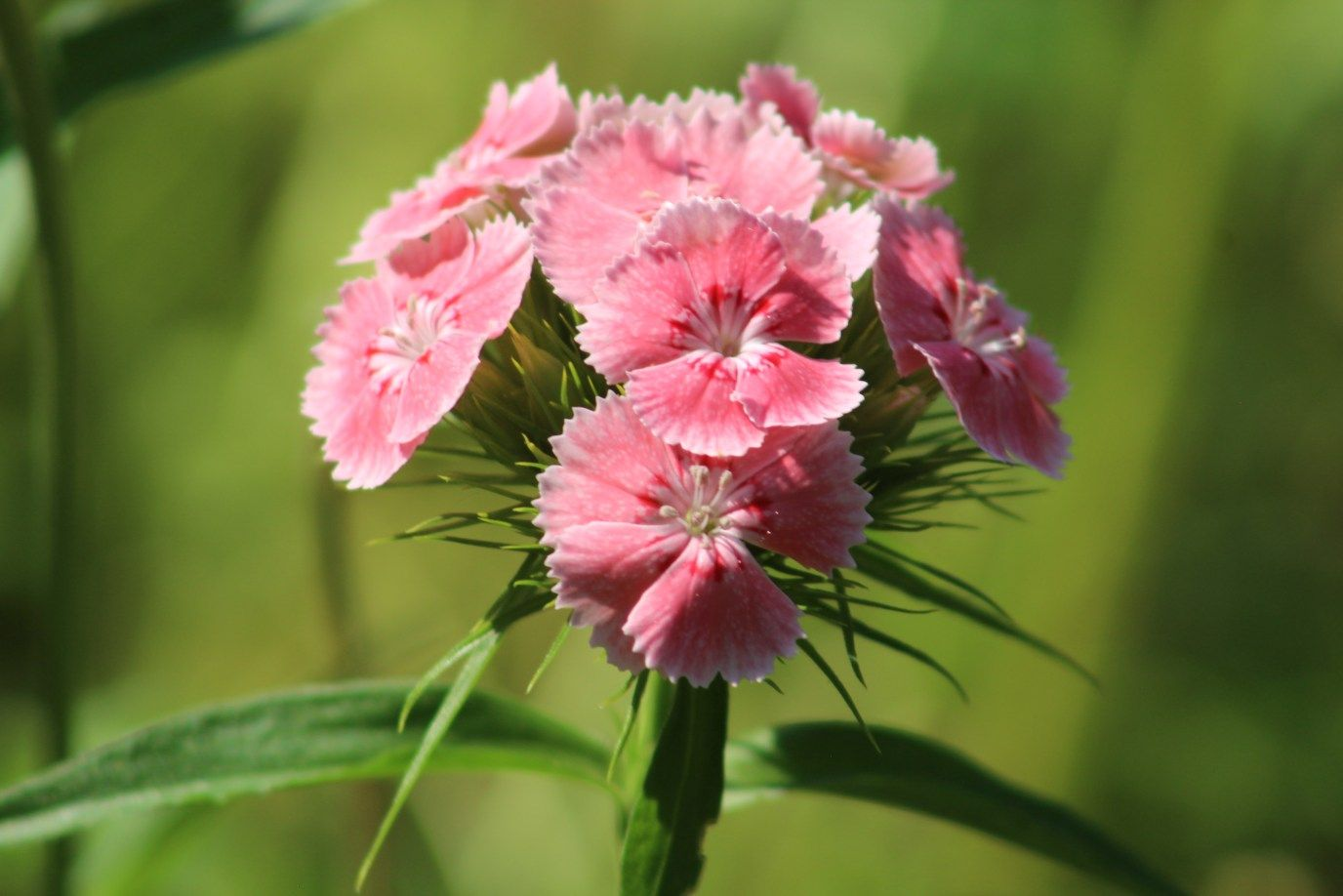 Growing Sweet William Dianthus from Seed Growing Flowers