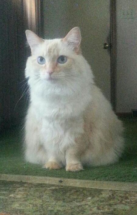 Adopt Heidi On Adoption Pets Cats