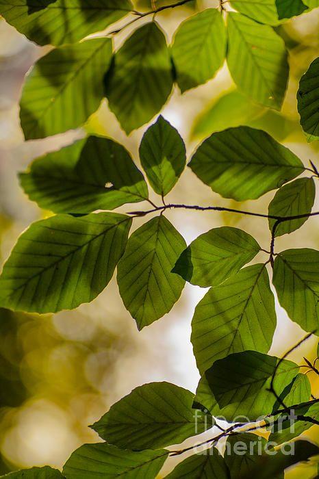 Beech leaves and bokeh by Jan Bickerton. Fine art photography.
