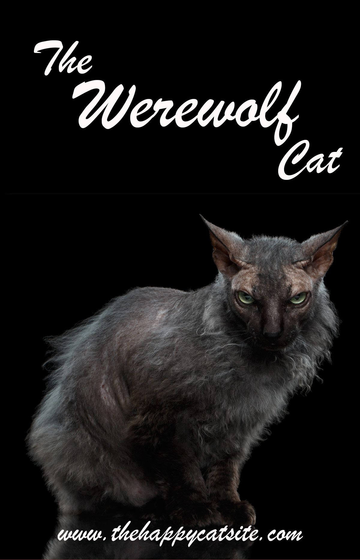 Werewolf Cat - Your Guide To The Fascinating Lykoi Cat Breed #catbreeds