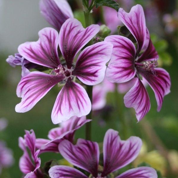 Bibor Felho Zebra Hollyhock Seeds Purple Flowers With