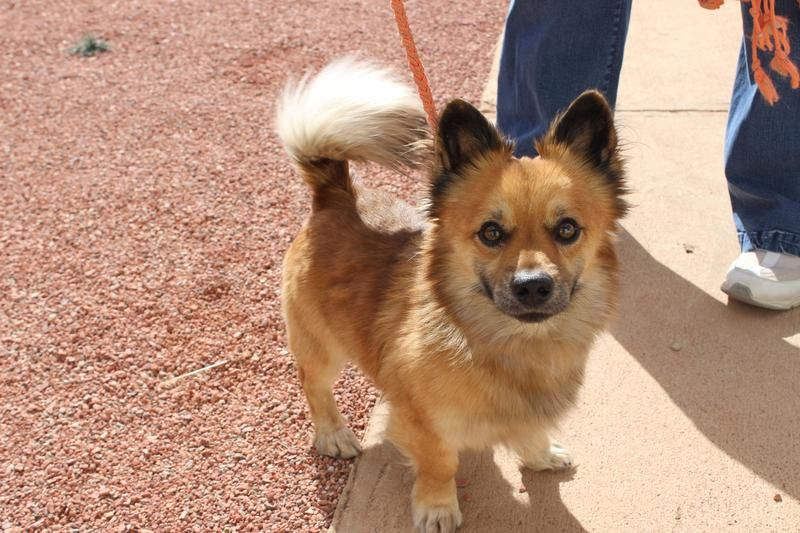 Adopt Bailey On Corgi Pomeranian Mix Corgi Pomeranian Corgi