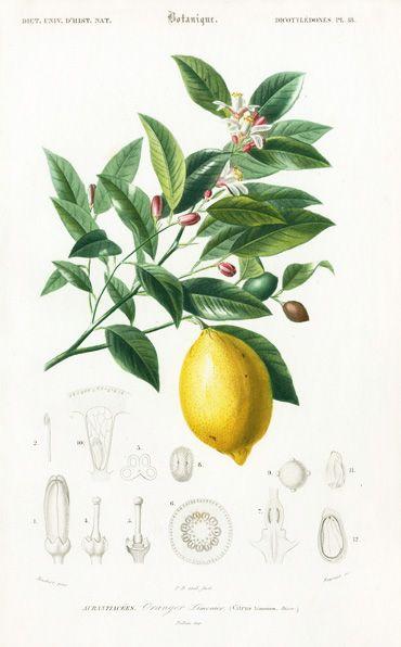 zitrone kunst botanik lars sch nberg pinterest illustration zeichnungen und botanische. Black Bedroom Furniture Sets. Home Design Ideas