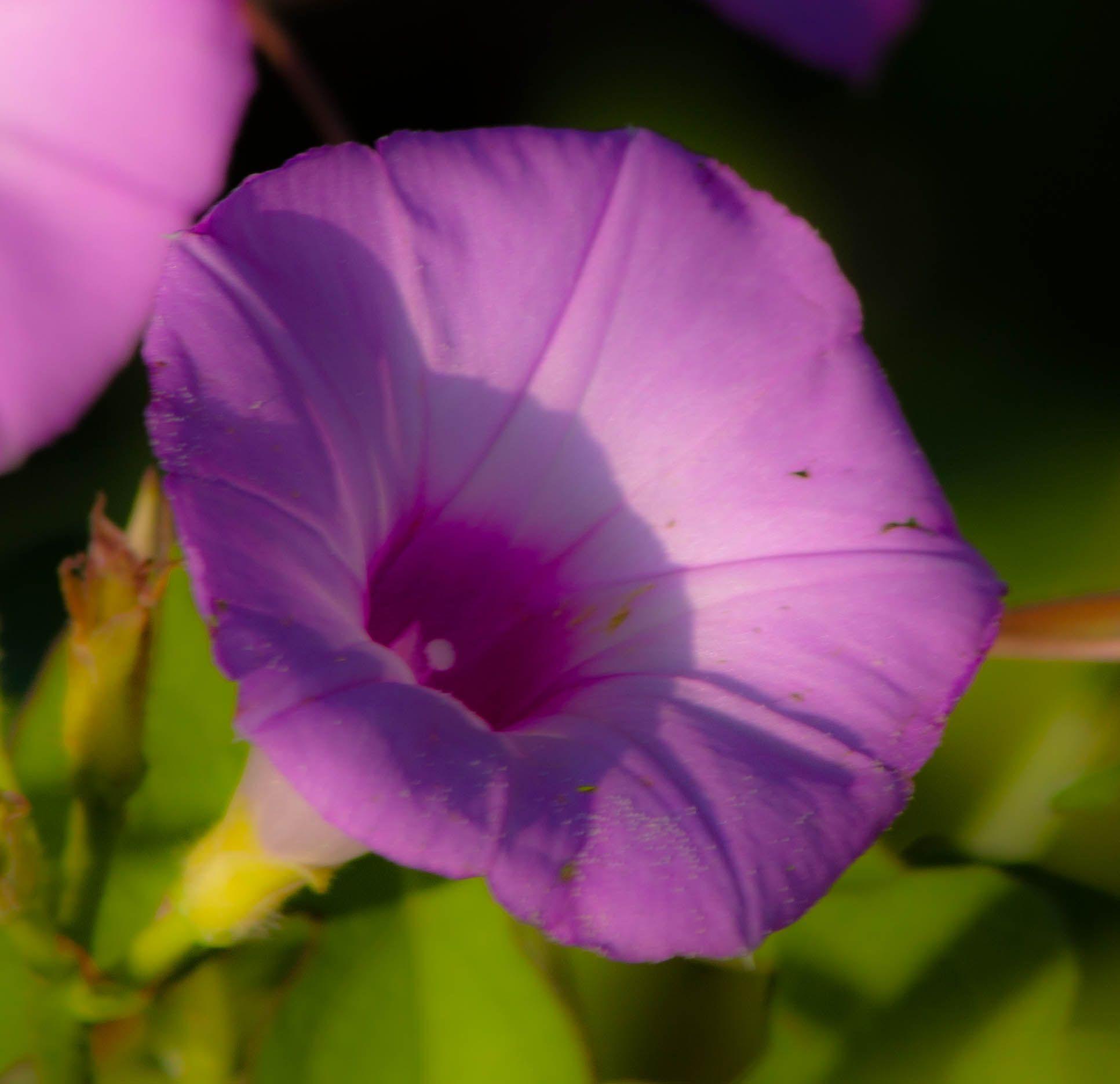 purple hazy
