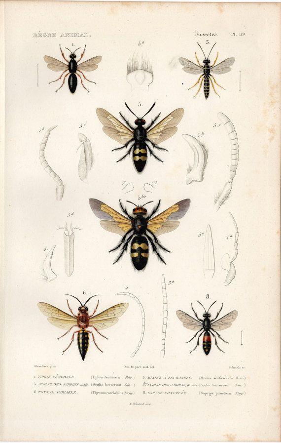 1836 Antique Original Engraving Le Règne Animal Paris Hymenoptera ...