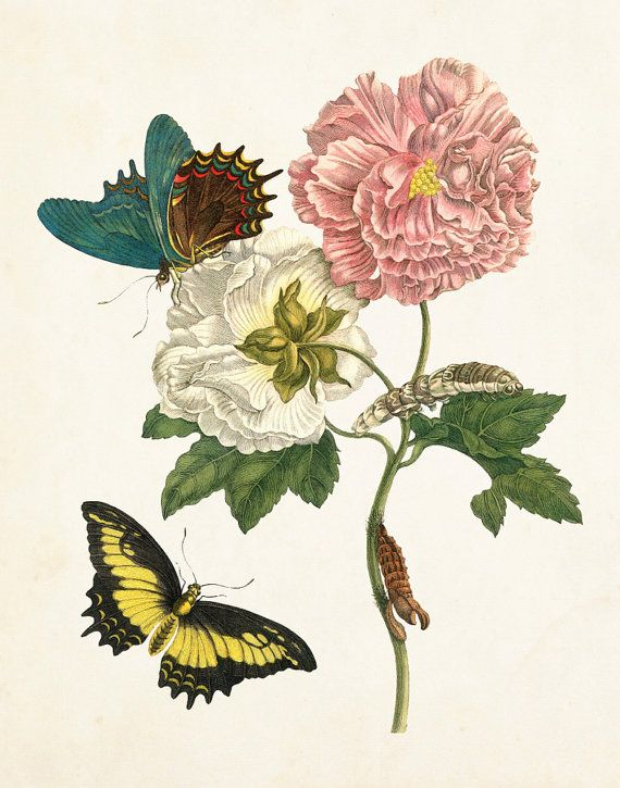 Vintage Butterfly Print No 24 Botanical Giclee Art Maria Sybilla Merian Prints Natural History Illustration