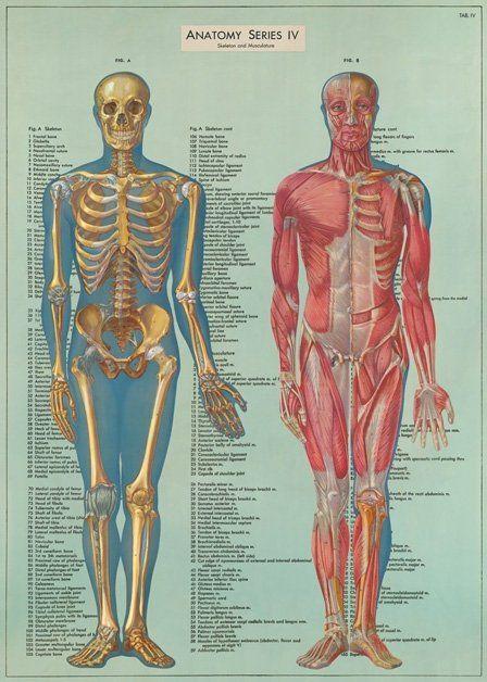 Vintage Anatomy Posterwrap Large Wall Art Print Posters