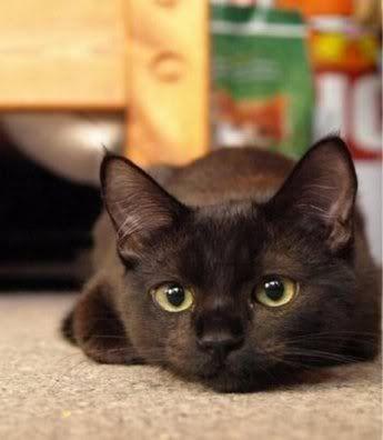 I M Bored Amuse Me Human Tabby Cat Burmese Kittens Burmese Cat