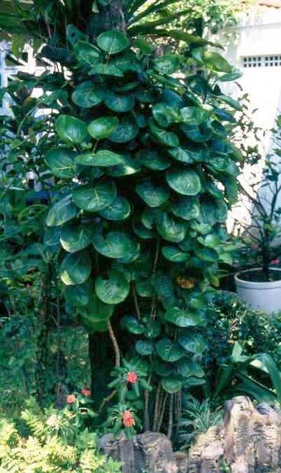 Manfaat Dan Khasiat Daun Mangkokan Kebun Herbal Tanaman Obat Tanaman