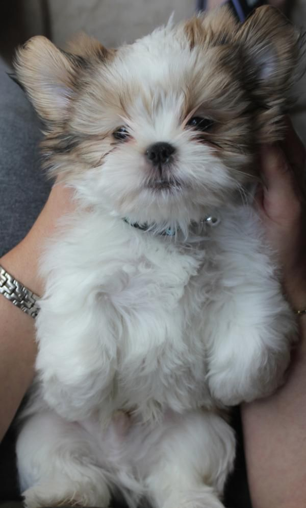 Shih Tzu Puppy I Repinned This Last Night And I Ve Had 38 People