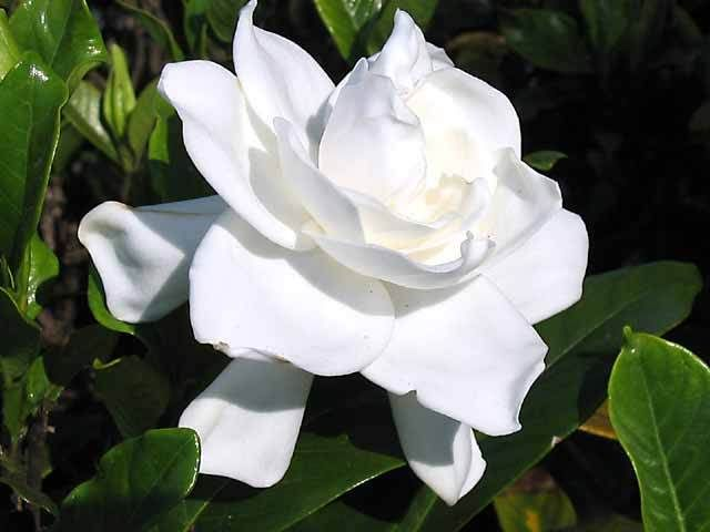 Gardenia Florida Extract Used For Its Fragrance And Is Beneficial For Its Antioxidant Qualities Found In Aeos Gardenia Plant Fragrant Flowers Gardenia Trees