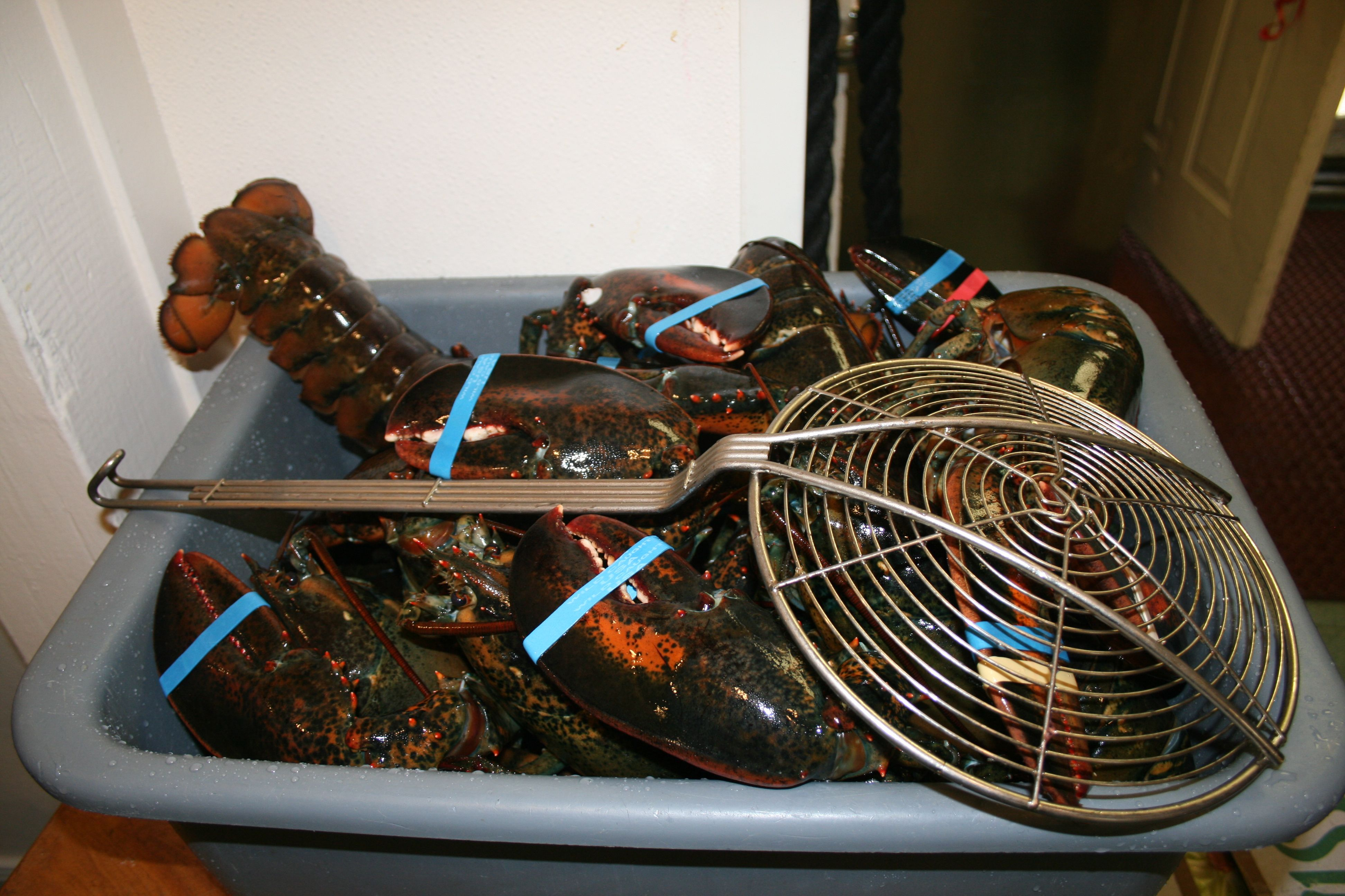 Another batch of lobsters fresh out of our own saltwater tanks.
