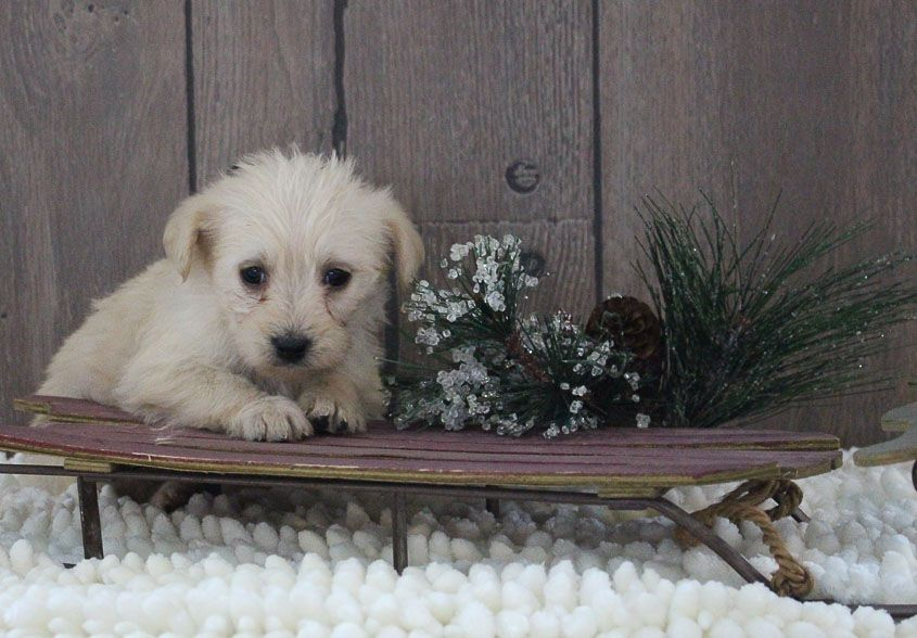 Laney A Female Mini Labradoodle Puppy For Sale In Indiana Vip