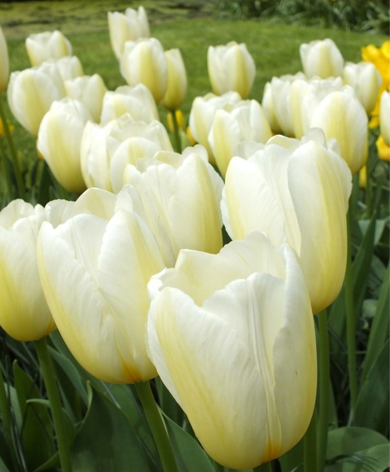 Tulip Francoise Single Late Tulips Tulips Flower Bulb Index Bulb Flowers Tulips Flowers Tulips