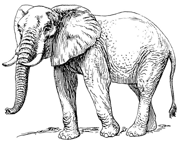 File African Elephant 001 Png Elephant Clip Art Elephant Drawing African Elephant