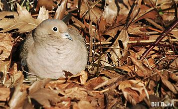 Mourning Dove in leaf litter by Bill Bunn