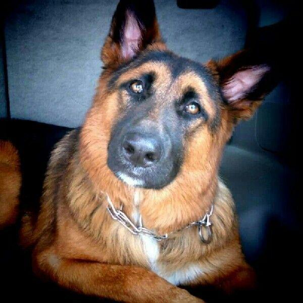 German Shepherd Puppies For Sale In Tn Craigslist - Pets ...