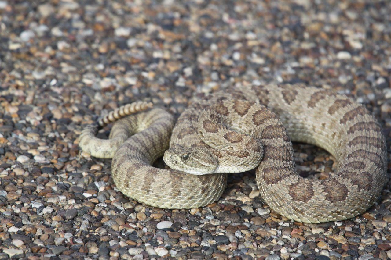 Kalamazoo Seasons Rattlesnake Rattlesnake Baby Snakes Baby Facts