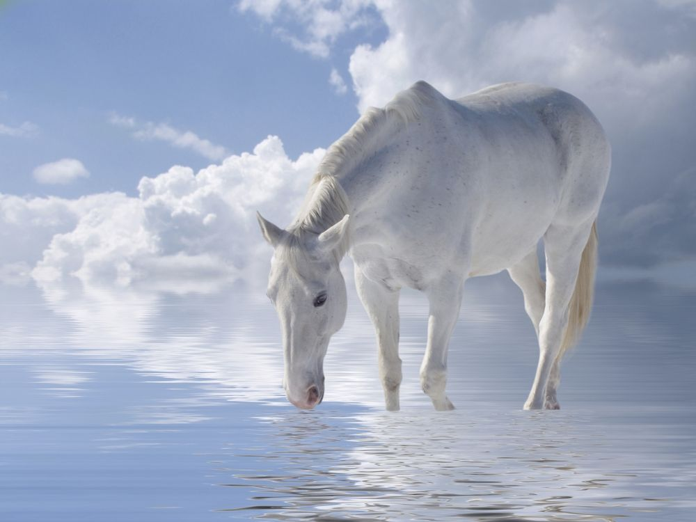 Beautiful picture of white horse in water.
