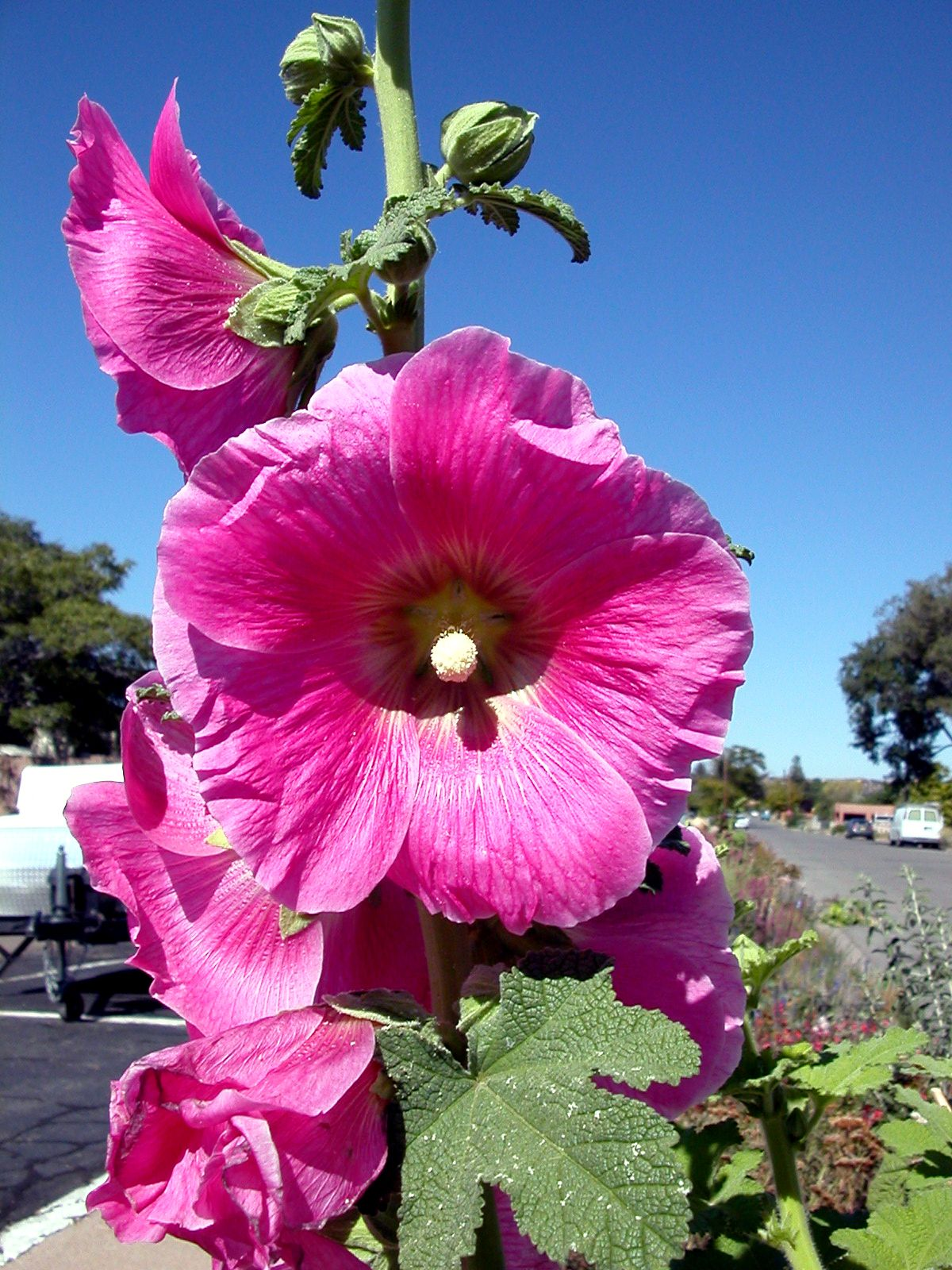 Pin By Hdi 19 On Southwest House With Images: These Gorgeous Hollyhocks Bloom All Summer In Santa Fe