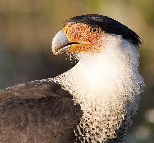 @ChrisJeffries24 : RT @StephanNilson: The Caracara will be the new national bird. #IfTrumpWins @midnight https://t.co/GkM0TIlKNc March 09 2016 at 01:13PM