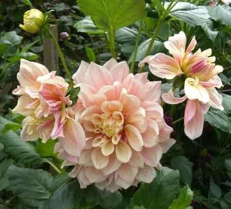 Full Size Picture Of Dinner Plate Dahlia Dinnerplate Dahlia Breakout Dahlia Dahlia Rare Flowers Room With Plants