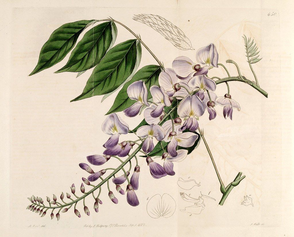Chinese Wisteria Wisteria Sinensis As Glycine Sinensis In 2020 Botanical Artwork Vine Drawing Wisteria