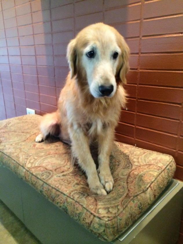 Adopt Lottie On Adoption Golden Retriever Rescue Dogs Golden