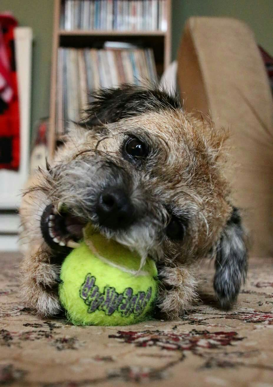 If You Don T Throw The Ball I Will Chew It Border Terrier