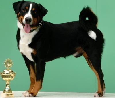 Appenzeller Sennenhund Vdh Rasselexikon Sennenhund Hund Bester Freund Entlebucher Sennenhund