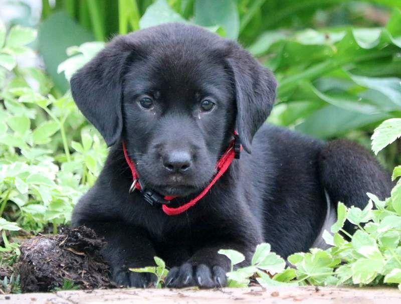 Mia Keystone Puppies Puppies For Sale Health Guaranteed Black Lab Keystonepuppies Labrador Retriever Labrador Puppy Labrador