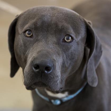 Adopt Booker On Mastiff Mix Rescue Dogs Weimaraner