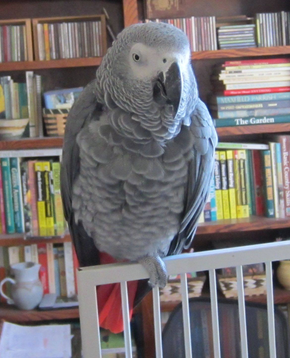 Pharaoh Is A Gorgeous African Grey From Mickaboo Companion Bird Rescue Pharaoh Is Currently At A Foster Home Where He Loves Spe African Grey Bird Foster Home