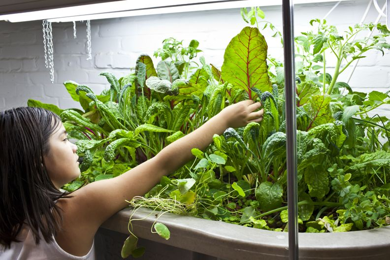 indoor gardening vegetables year round Basement Aquaponics, growing vegetables and tilapia in