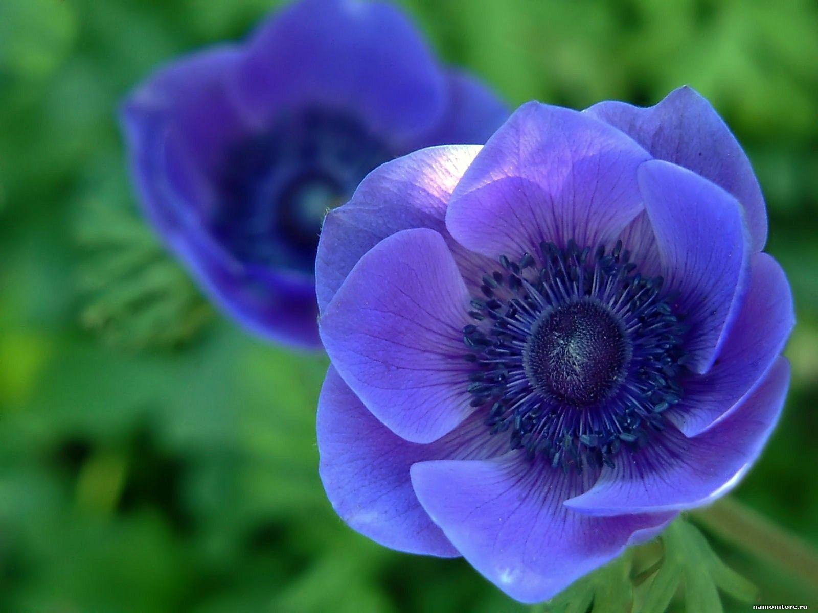 Image detail for Blue flowers, dark blue, flowers, violet