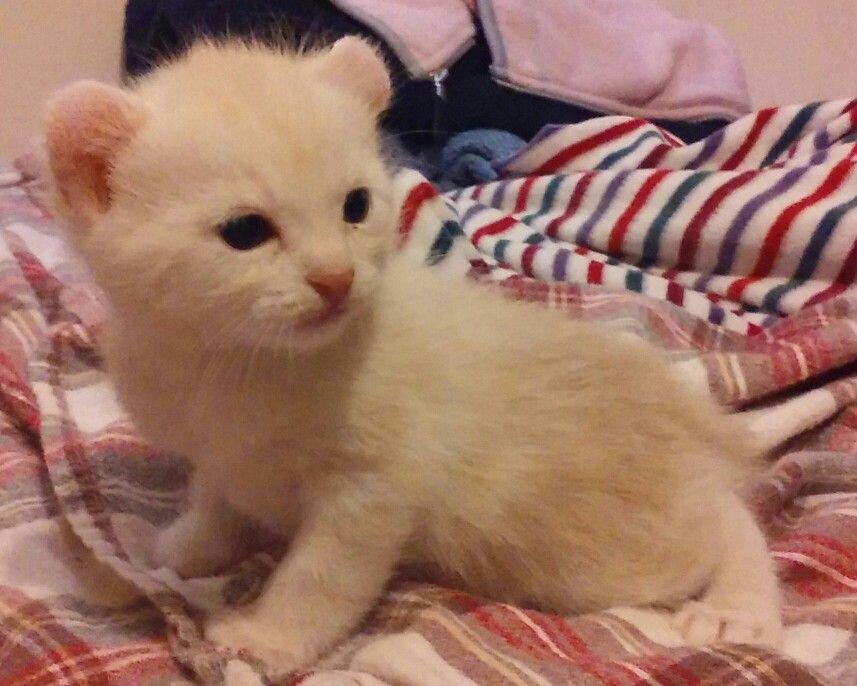 Cream Boy American Curl Kittens American Curl Kitten For Sale