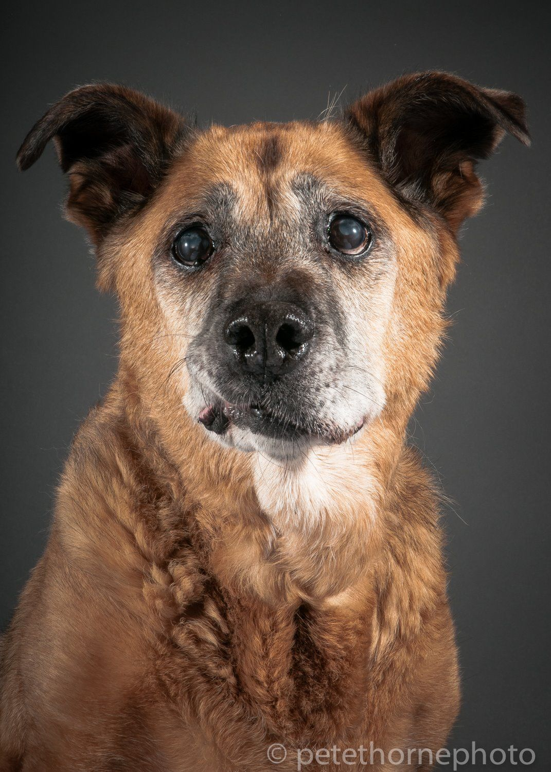 16 y/o Shep w/ SAINTS Rescue. Pete Thorne - Old Faithful Project