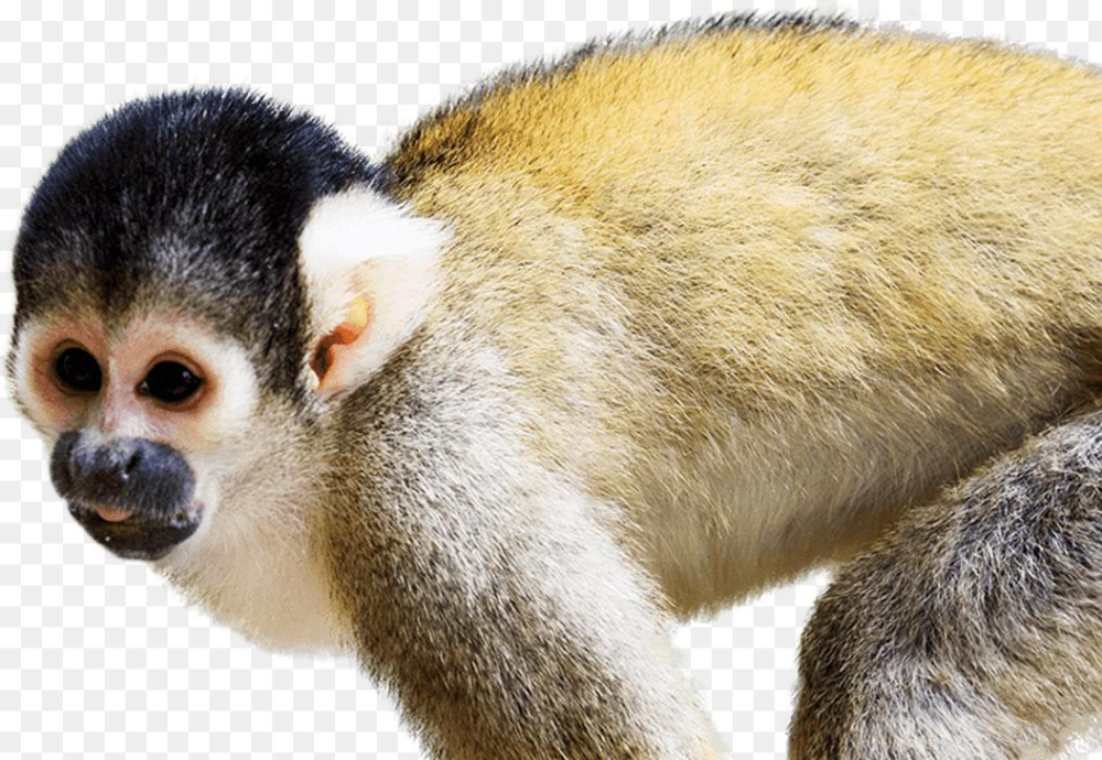Squirrel Monkey Png Squirrel Monkey National Zoo Aquarium 1053 727 Png Download Free Transparent Background Squirr Squirrel Monkey Squirrel Baby Squirrel