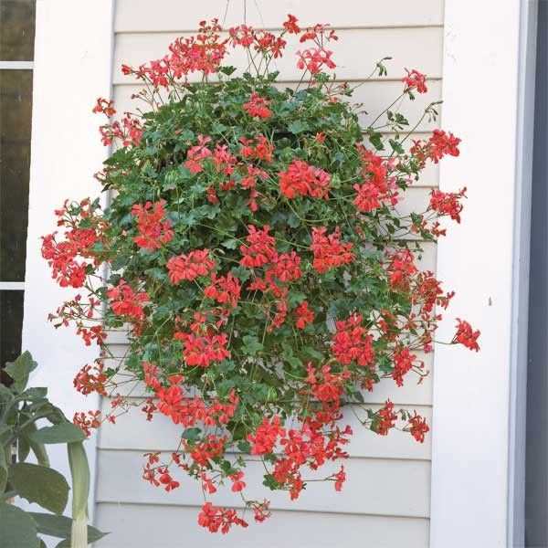 Swiss Balcony Geranium Balcon Royale Red P P Pelargonium Peltatum The Stems Can Trail 2 3