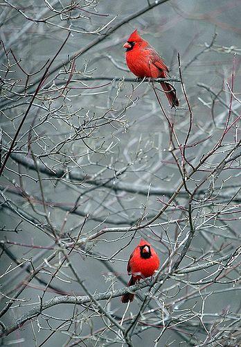 Winter Cardinals | Pretty birds, Beautiful birds, Bird pictures