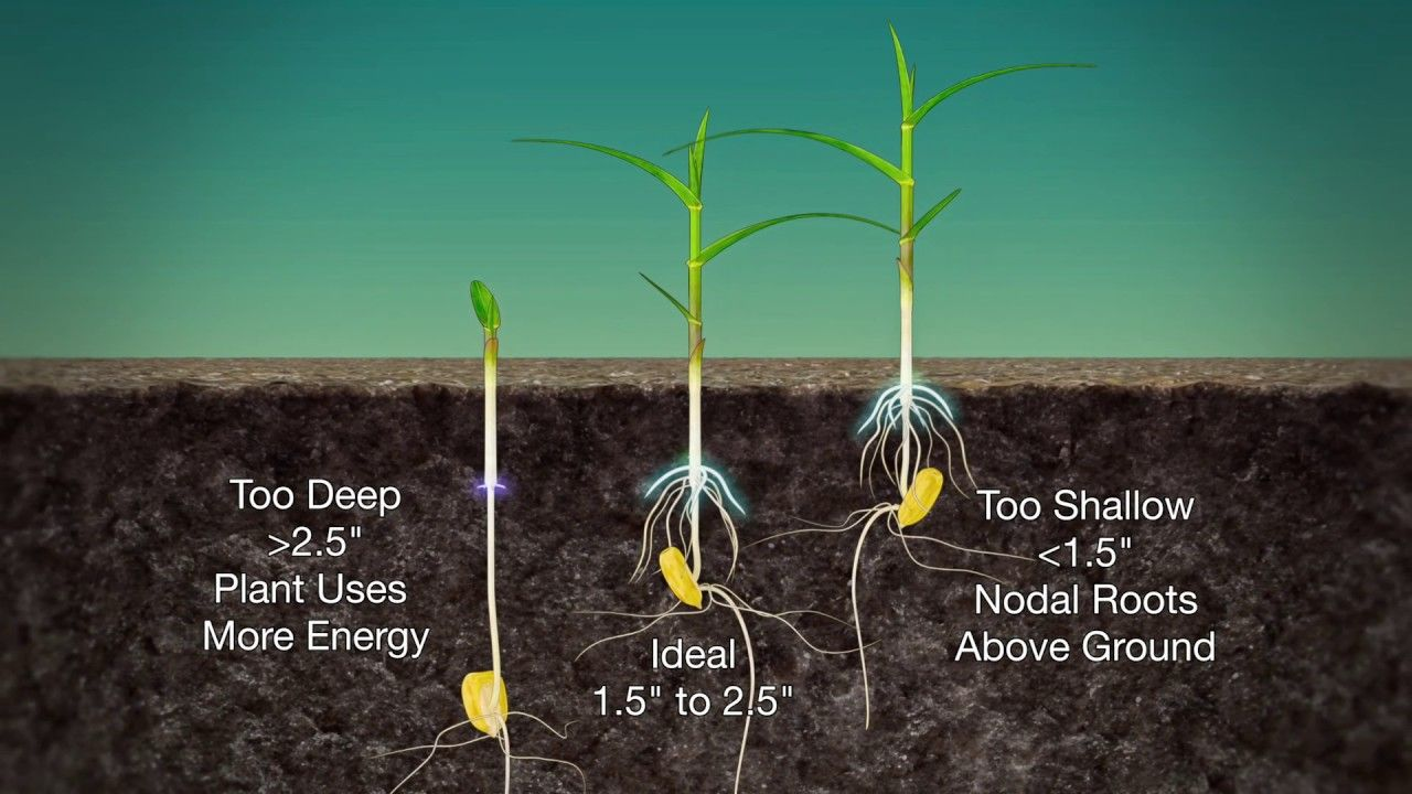 Corn Planting Depth 989 Air Date 3 19 17 Plants Corn Corn Seed