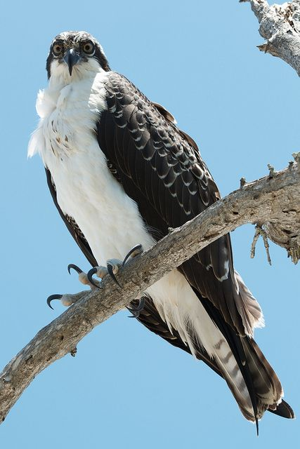 Sanibel island osprey on the beach fish hawk live for Fish hawk bird