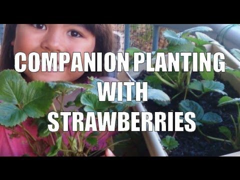 Companion Planting With Strawberries | Happy House and Garden Social Site