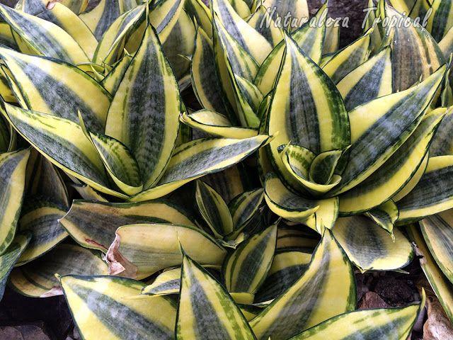 Planta Sansevieria thyrsifolia es purificadora del aire