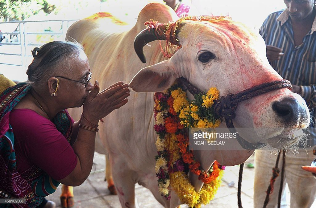50+ Why are cows sacred ideas